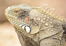 Close up of a wild iguana. Wild iguana head from the island of curaçao Stock Image