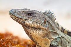 Close up of wild iguana. In Mexico Stock Photos