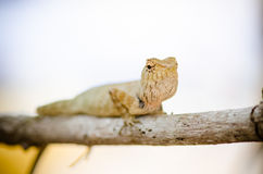 Close-up of Wild lizard Royalty Free Stock Images