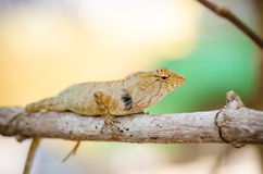 Close-up of Wild lizard Royalty Free Stock Photo