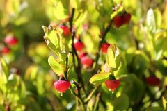 Close-up of wild lowbush blueberries, unripe in springtime stock photography