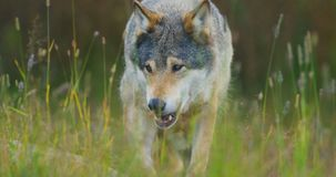 Close-up of a wild male wolf walking in the grass in the forest