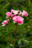 Close up Wild Pink Roses Blurred background stock photo