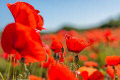 Close up of a wild poppies field Stock Images