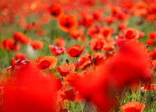 Close up of a wild poppies field-shallow DOF Stock Photography