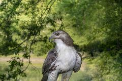Close up of a wild red tailed hawk in wooded area with grass per stock images