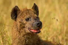 Close-up of wild Spotted hyena from Kenya. royalty free stock images