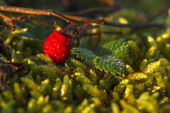 Close up of wild strawberry among dew wet leaves Royalty Free Stock Photography