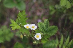 Close-up of Wild strawberry flowers in the forest on summer day. Close-up of Wild strawberry flowers in the forest on summer day stock image