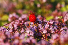 Close up of wild strawberry (Fragaria vesca) among Thymus serpyl Royalty Free Stock Images
