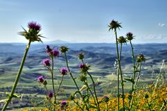 Close-up of Wild Thistles in Bloom Typical of the Macchia Mediterranea, Sicilian Landscape, Italy, Europe. Close-up of Wild Thistles in Bloom Typical of the royalty free stock images