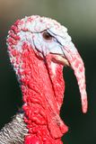Close-up of Wild Turkey Royalty Free Stock Photo