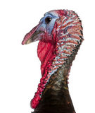 Close-up of Wild Turkey, Meleagris gallopavo. In front of white background Stock Photo