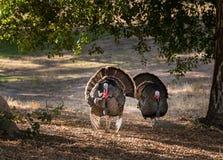 Wild turkeys strutting in sunshine Royalty Free Stock Photography