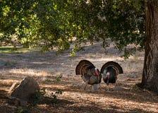 Wild turkeys strutting in sunshine Royalty Free Stock Image
