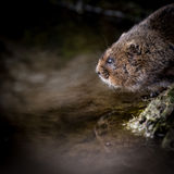 Close up of wild Water vole sitting on waters edge Royalty Free Stock Photo