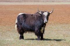 Close up wild yak in Himalaya mountains, Nepal Royalty Free Stock Image