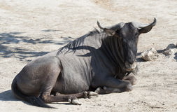Close up of a Wildebeest Royalty Free Stock Images