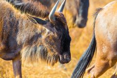 Close-up of wildebeest in a herd in Ngorongoro Africa Royalty Free Stock Photo