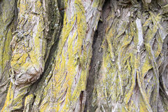 Close up willow tree bark. Close up on old giant Willow tree trunk with twisted peeling bark infected with mold fungus royalty free stock image