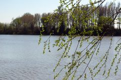 Close-up The Willow Tree On The River In The Spring. Close-up the branch of the willow tree blossomed on the river bank in the spring. A tree on the other side royalty free stock photography