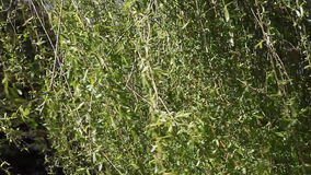 Close up willow tree. Swaying willow branches in a spring breeze stock footage