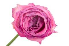 Free Close-up Wilting Rose Stock Image - 6883311