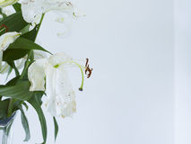 Close up of wilting white lilies in vase Royalty Free Stock Photos