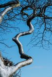 Close up of a wind blown snow covered twisted contorted branch of a tree against a blue sky. In winter on Cleeve Hill, Cotswolds,Gloucestershire,UK royalty free stock photos