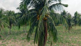 Close up wind shakes palmtree leaves with yellow coconuts. Close up wind shakes lightly beautiful palmtree leaves with yellow mature coconuts among pictorial stock footage