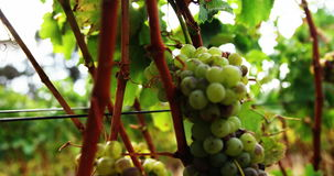 Close up of wine grape moving stock video