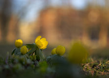 Close up of winter aconite Royalty Free Stock Images