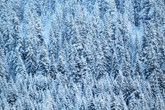 Close up on winter fir trees woods Royalty Free Stock Image