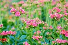 Winter pot kalanchoe flower. The close-up of winter pot kalanchoe flower. Scientific name: Kalanchoe blossfeldiana Royalty Free Stock Photography