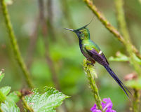 Close-up of the Wire-crested Thorntail Stock Image