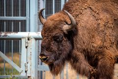 Wisent or European bison Royalty Free Stock Photos