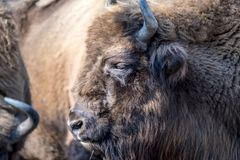 Close-up of Wisent in the Winter. Of Germany Stock Photo