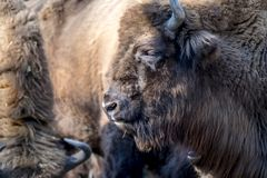 Close-up of Wisent in the Winter. Of Germany Stock Image