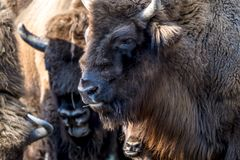 Close-up of Wisent in the Winter. Of Germany Royalty Free Stock Photography