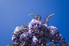 Wisteria Flowers in the Sky. royalty free stock images