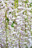 Close up of wisteria Stock Image