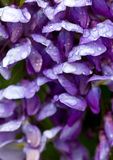 Close up of Wisteria with rain drops Royalty Free Stock Photography