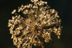Close up of a withered Allium cristophii flower Royalty Free Stock Images