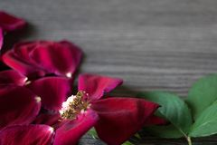 Close up of a withered rose and loose petals with smooth background and space for a message royalty free stock photos