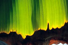 Banana leaf. The close-up of withering banana leaf Royalty Free Stock Photo