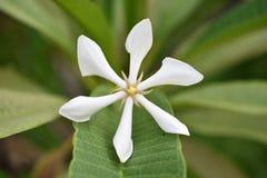 Close-up witte bloem Stock Afbeeldingen