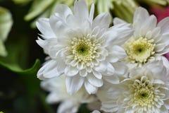 Close-up witte bloemen Royalty-vrije Stock Afbeeldingen