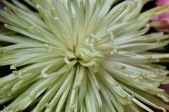 Close-up witte bloemen Stock Foto