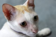 Close-up witte en oranje kat de kat is een klein geacclimatiseerd vleesetend zoogdier met zacht bont stock afbeelding