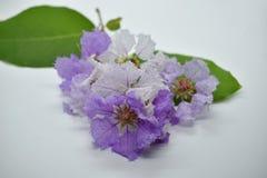 Close-up witte en purpere bloemen Royalty-vrije Stock Foto